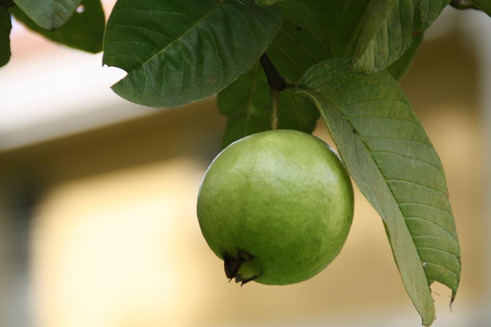 guava-meyvesi
