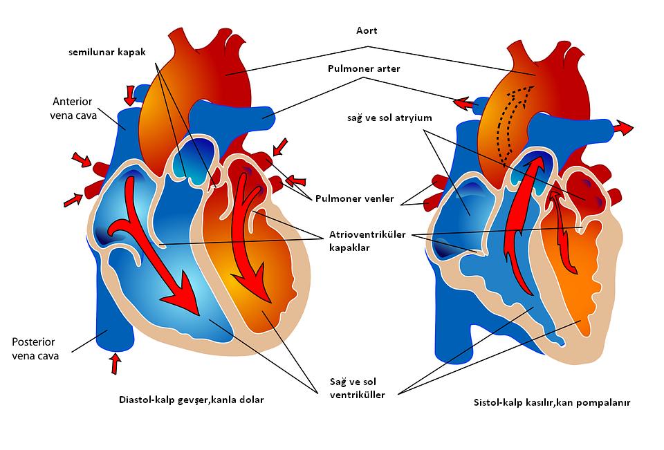 insan-kalbi