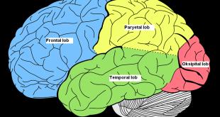beyin lobları nasıl geliştirilir, beyin lobları testi, frontal lob, beyin lobları ne işe yarar, beyin lobları pdf ,limbik sistem nedir, beyin lobları görevleri, beyin lobları işlevleri